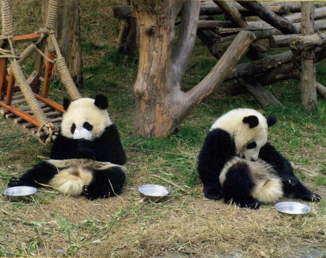 панды отдыхают фото